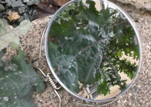 kale-reflected